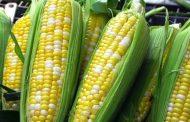 Bénin : le maïs, une denrée de plus en plus chère